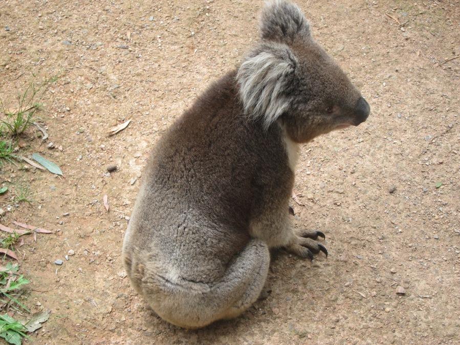 Koala so cute! :3