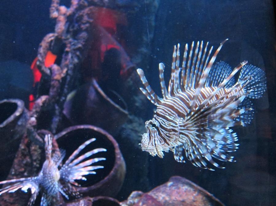 Lionfish! So beautiful!